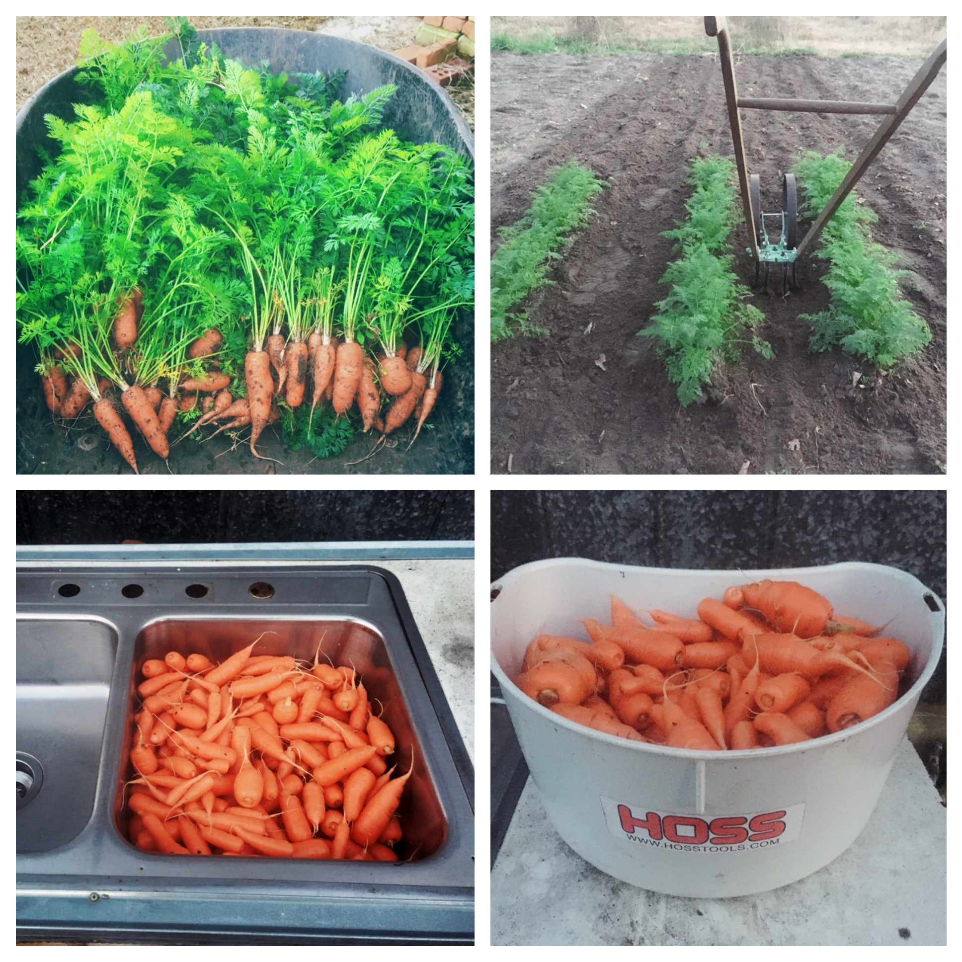 Pelleted Carrot Seed