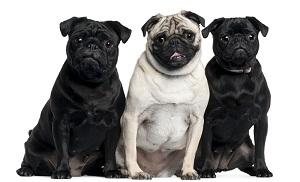 pugs_smaller.jpg