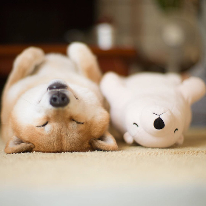 dog-shiba-inu-sleeps-teddy-bear-same-position-maru-1