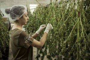 hemp being processed