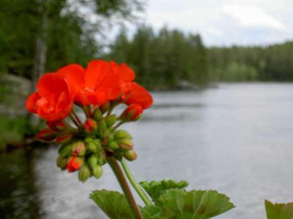Sommarfägring. Foto Stilla Dagar
