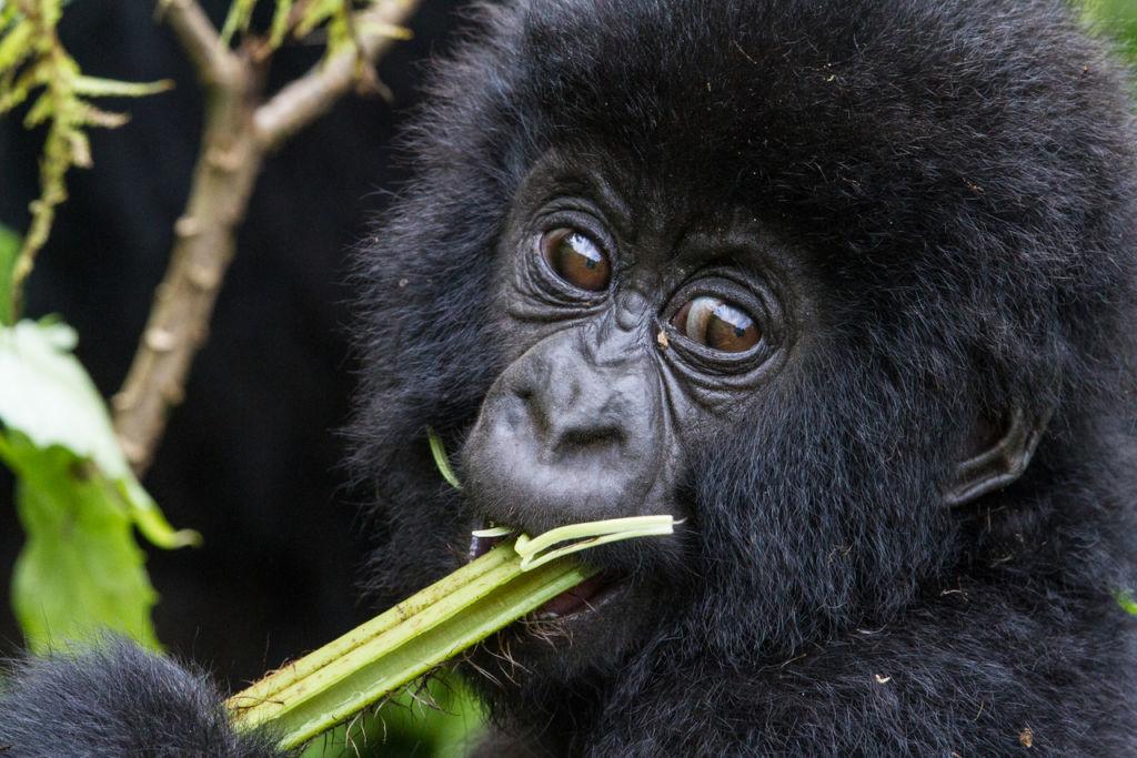 Conoce a los Gorilas de la Montaña en Rwanda - Gorila Rwanda Portada