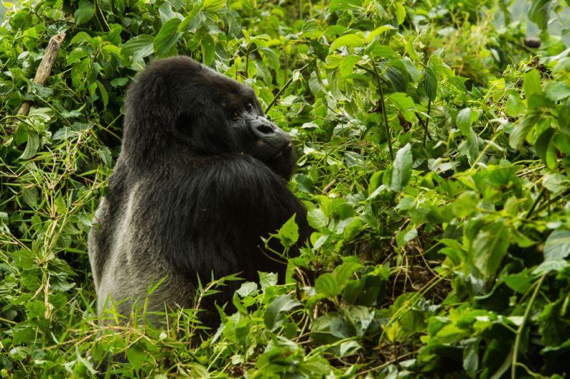 Conoce a los Gorilas de la Montaña en Rwanda - Gorila-de-la-montaña