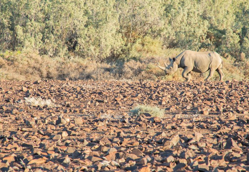 El rinoceronte del desierto - wild_rinoceronte_03