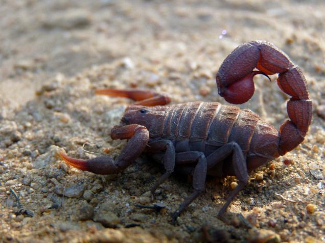 Los animales más peligrosos del mundo - fattail
