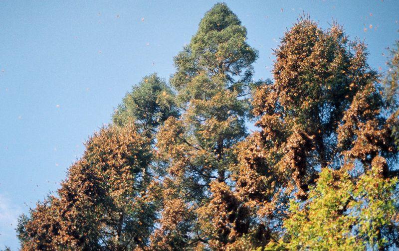 El efecto mariposa, monarcas sin corona, pero con mucho poder. - trees