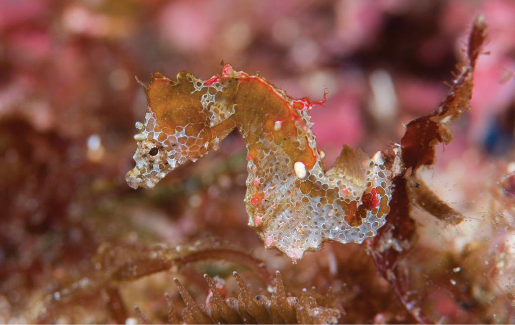 Científicos descubren una nueva especie de caballito de mar en Japón