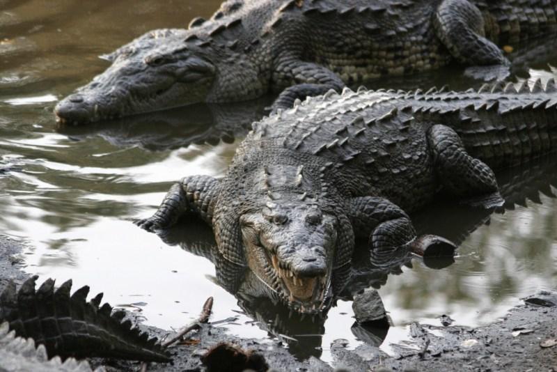 Animales que ya no se encuentran en peligro de extinción - grupo-de-crocodylus-acutus-en-jalisco-mexico