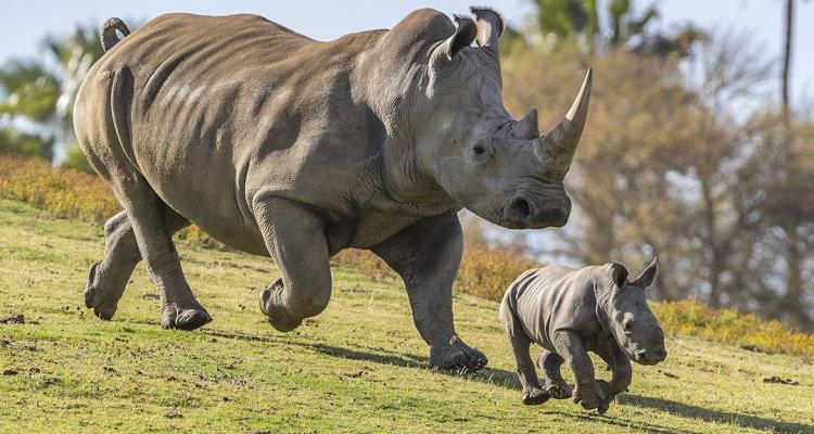Animales que ya no se encuentran en peligro de extinción - rino