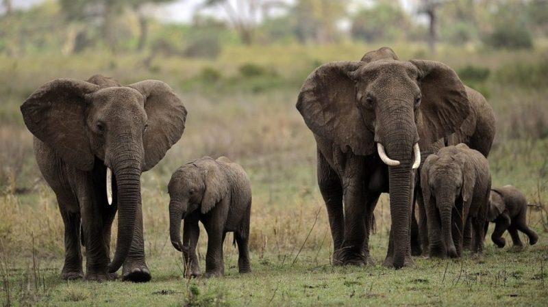 10 cosas que no sabías sobre los elefantes - 10-cosas-que-no-sabias-sobre-los-elefantes-4