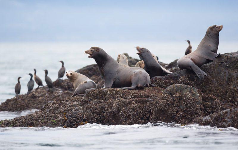 Bestiario Pardo, experiencias en los bosques del pacífico canadiense - focas-animales-mar