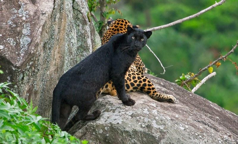 Datos que debes saber sobre los leopardos - leopardo-negro