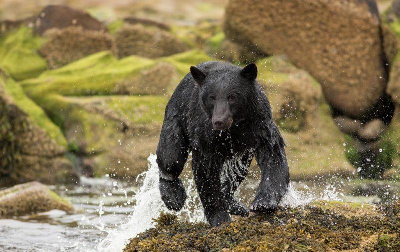 Bestiario Pardo, experiencias en los bosques del pacífico canadiense - oso-animal-salvaje-naturaleza-agua