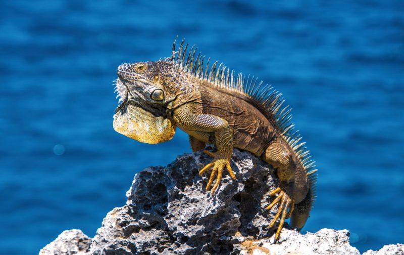Las Islas Caimán, un archipiélago en el corazón del Caribe - animal-iguana-caiman