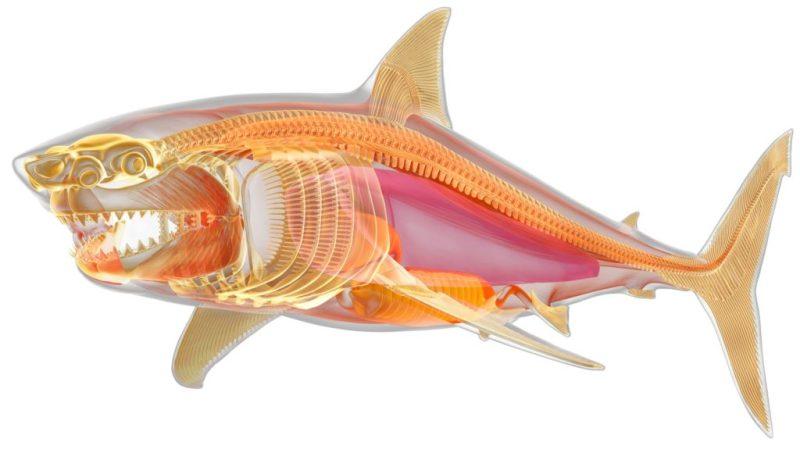 Datos que probablemente no sabías sobre los tiburones - datos-que-probablemente-no-sabias-sobre-los-tiburones-1