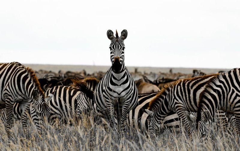 Diego Rodríguez: el fotógrafo que captura momentos en la naturaleza - cebra-animal-africa-selva