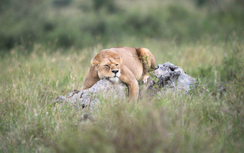 Diego Rodríguez: el fotógrafo que captura momentos en la naturaleza - leona-animal-felino-selva