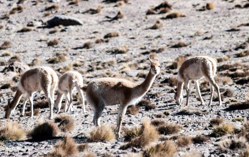Atacama: postales del desierto más seco del mundo - desierto-atacama-animales-chile