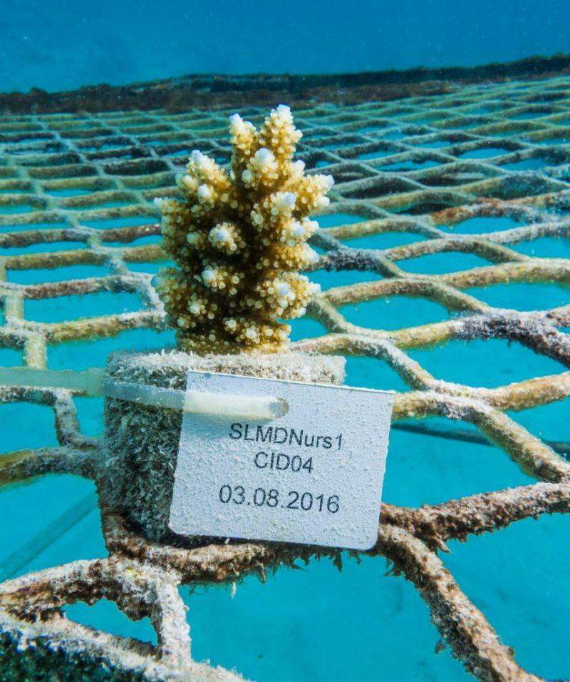 Reef Care, el plan de recuperación de corales heridos - 20160812_coral_planting_00032