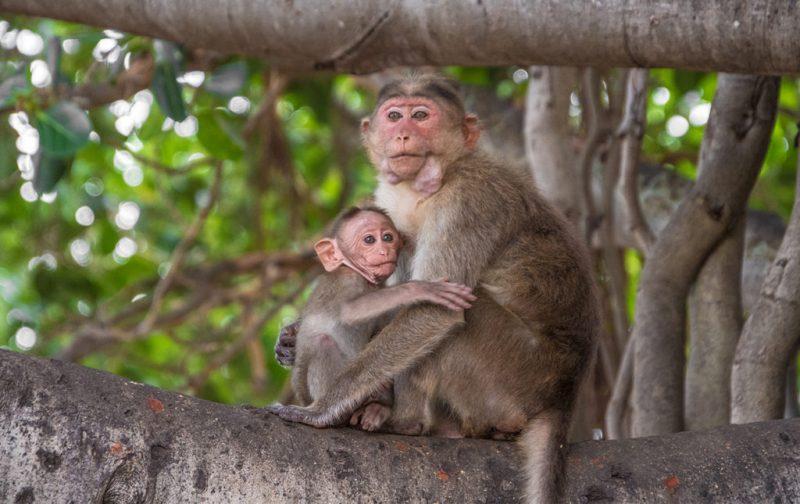 Karnataka: santuarios naturales, delirios de grandeza y contrastes urbanos - changos-naturaleza-animales-karnataka