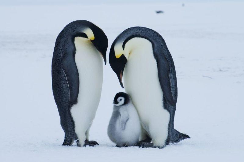 Datos curiosos sobre los pingüinos - hotbook-datos-curiosos-sobre-los-pingucc88inos-2