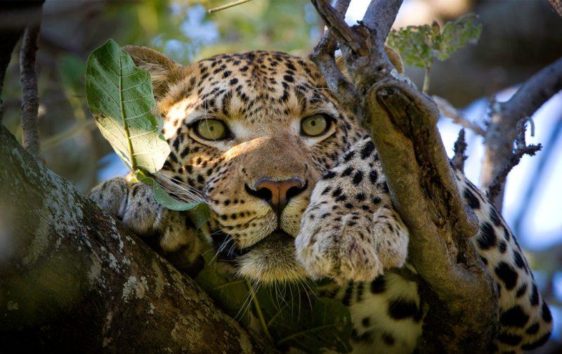 Un recorrido por África - portada-leopardo-africa-selva-felino