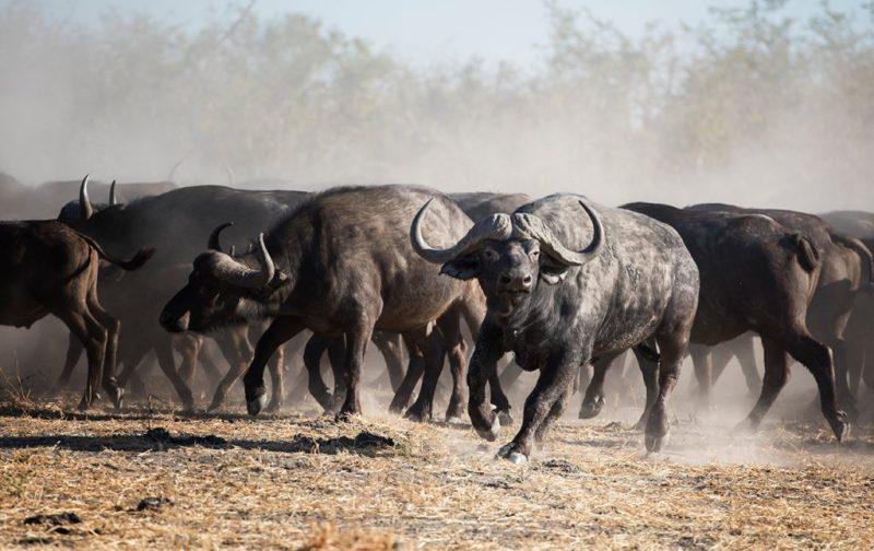 Un recorrido por África - qorokwe-camp-bufalo