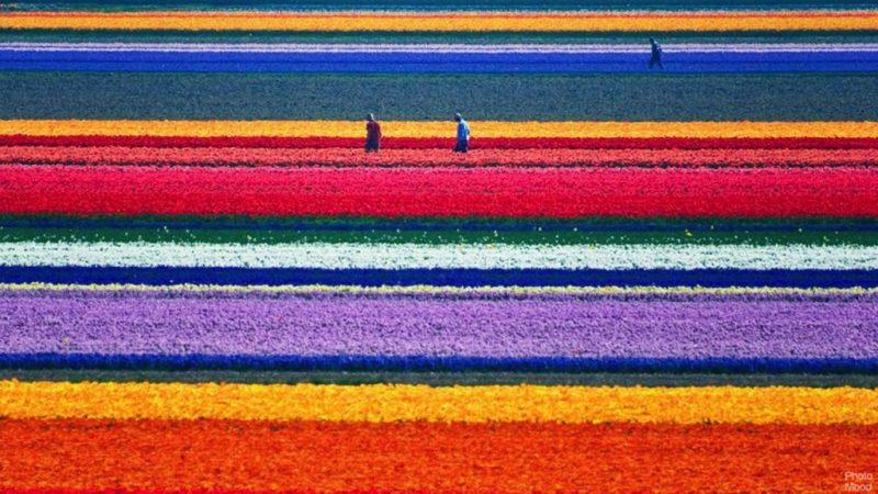 24 fotos que te transportarán a lugares inimaginables - campos-de-tulipanes-holanda-fotos-de-lugares-inimaginables-que-te-transportaran-virtualmente-coronavirus-internet-fotos-7
