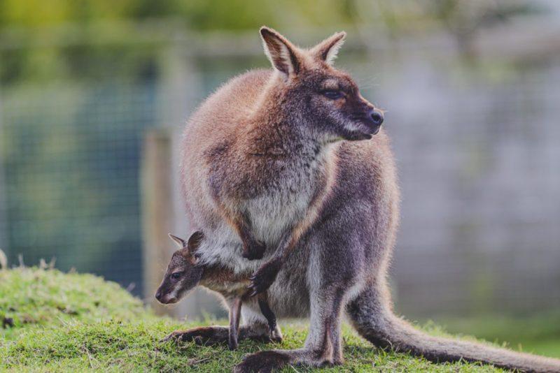 15 fotos que representan el cariño de mamá en la naturaleza - foto-kangaroo-fotos-que-representan-el-carincc83o-de-mama-en-la-naturaleza-zoom-dia-de-las-madres-10-de-mayo-coronavirus