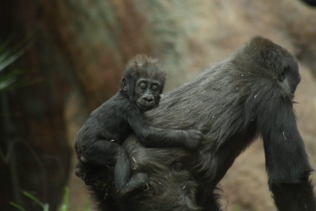 15 fotos que representan el cariño de mamá en la naturaleza - Portada foto gorila fotos que representan el cariño de mama en la naturaleza zoom dia de las madres 10 de mayo coronavirus