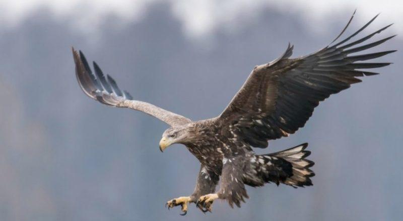El águila de cola blanca es vista después de 240 años - 1-aguila-cola-blanca-inglaterra