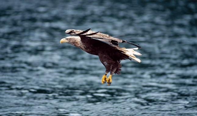 El águila de cola blanca es vista después de 240 años - 3-aguila-cola-blanca