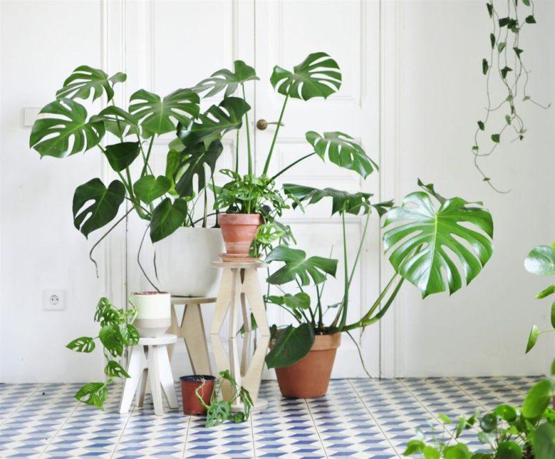 Go green! Plantas para tener un imperdible jardín interior - link-costilla-de-adan-o-monstera-plantas-para-tener-un-imperdible-jardin-interior