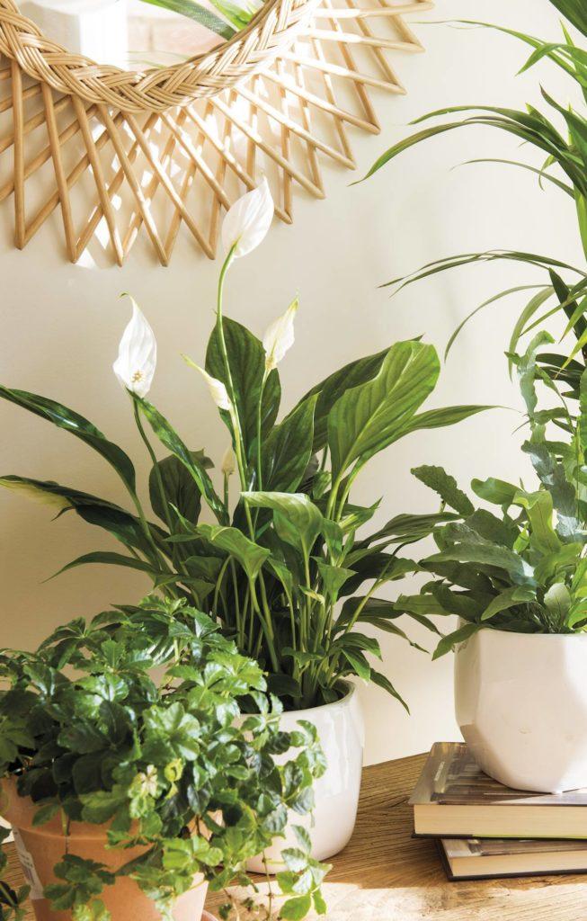 Go green! Plantas para tener un imperdible jardín interior - link-espatifilio-link-costilla-de-adan-o-monstera-plantas-para-tener-un-imperdible-jardin-interior