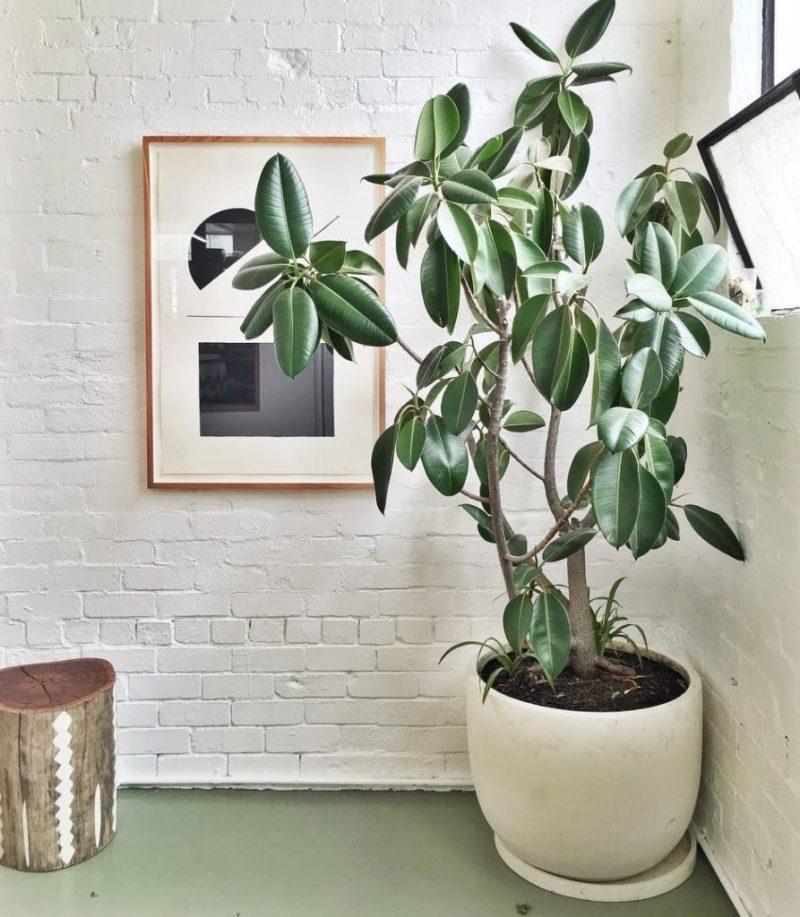 Go green! Plantas para tener un imperdible jardín interior - link-ficus-plantas-para-tener-un-imperdible-jardin-interior