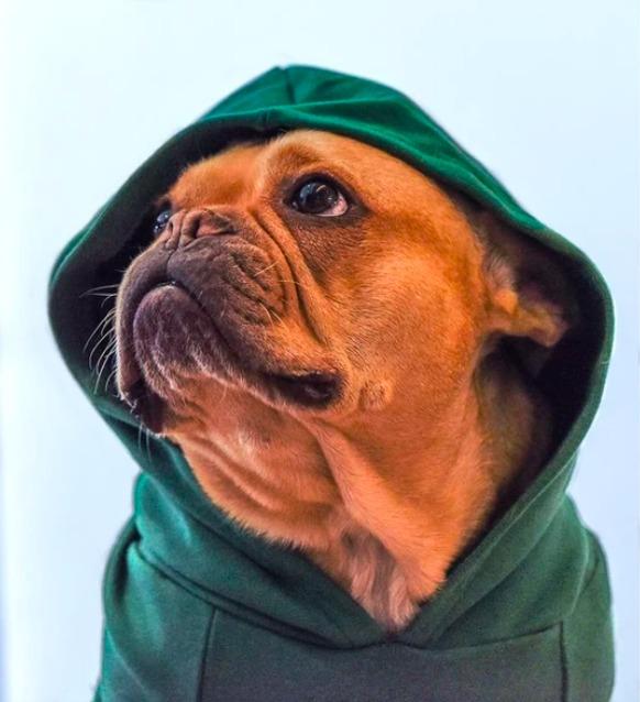 Un bulldog francés que se volvió influencer: conoce la historia de Cletito - un-bulldog-frances-que-se-volvio-influencer-conoce-la-historia-de-cletito-cleto-el-influencer-yosstop-4