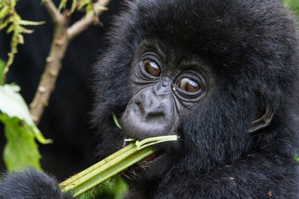 Conoce a los Gorilas de la Montaña en Rwanda