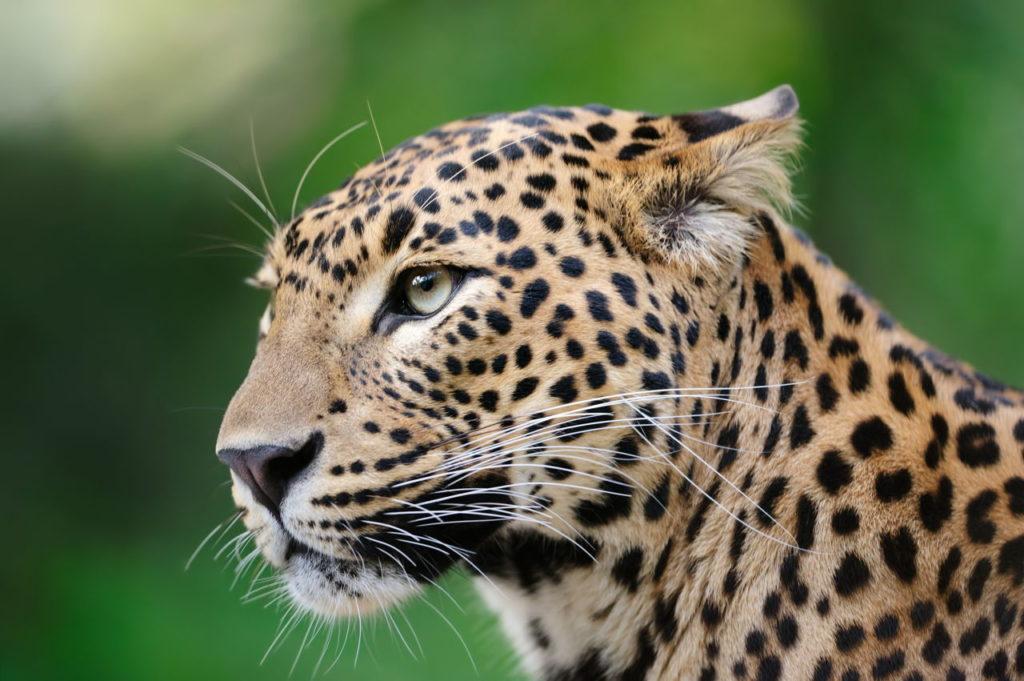 Datos que debes saber sobre los leopardos