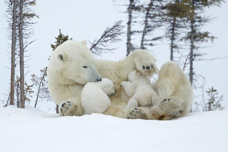 15 fotos que representan el cariño de mamá en la naturaleza - foto-oso-polar-fotos-que-representan-el-carincc83o-de-mama-en-la-naturaleza-zoom-dia-de-las-madres-10-de-mayo-coronavirus