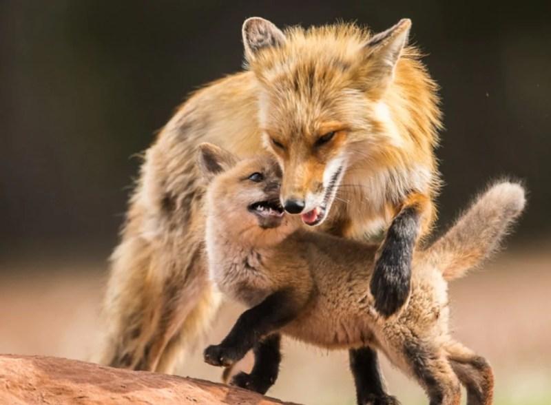 15 fotos que representan el cariño de mamá en la naturaleza - foto-zorros-fotos-que-representan-el-carincc83o-de-mama-en-la-naturaleza-zoom-dia-de-las-madres-10-de-mayo-coronavirus
