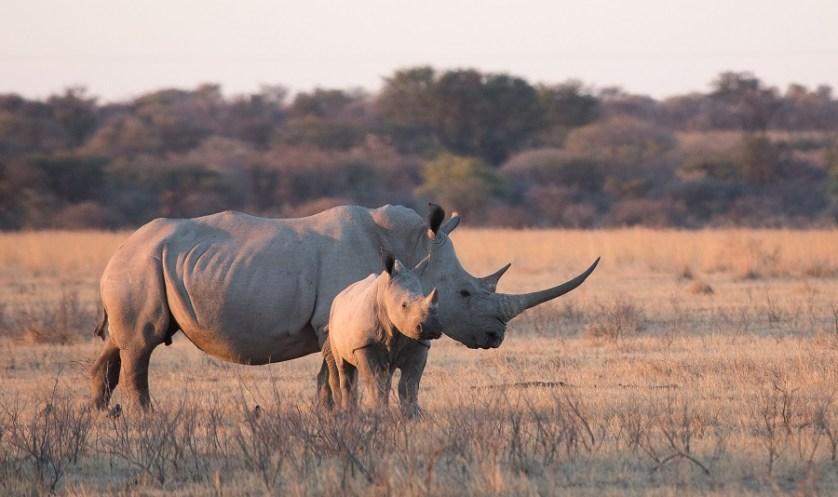 imagem-de-rinocerontes