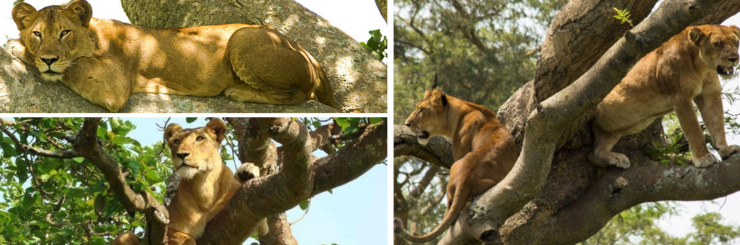 tree-climbing-lions-in-ishasha