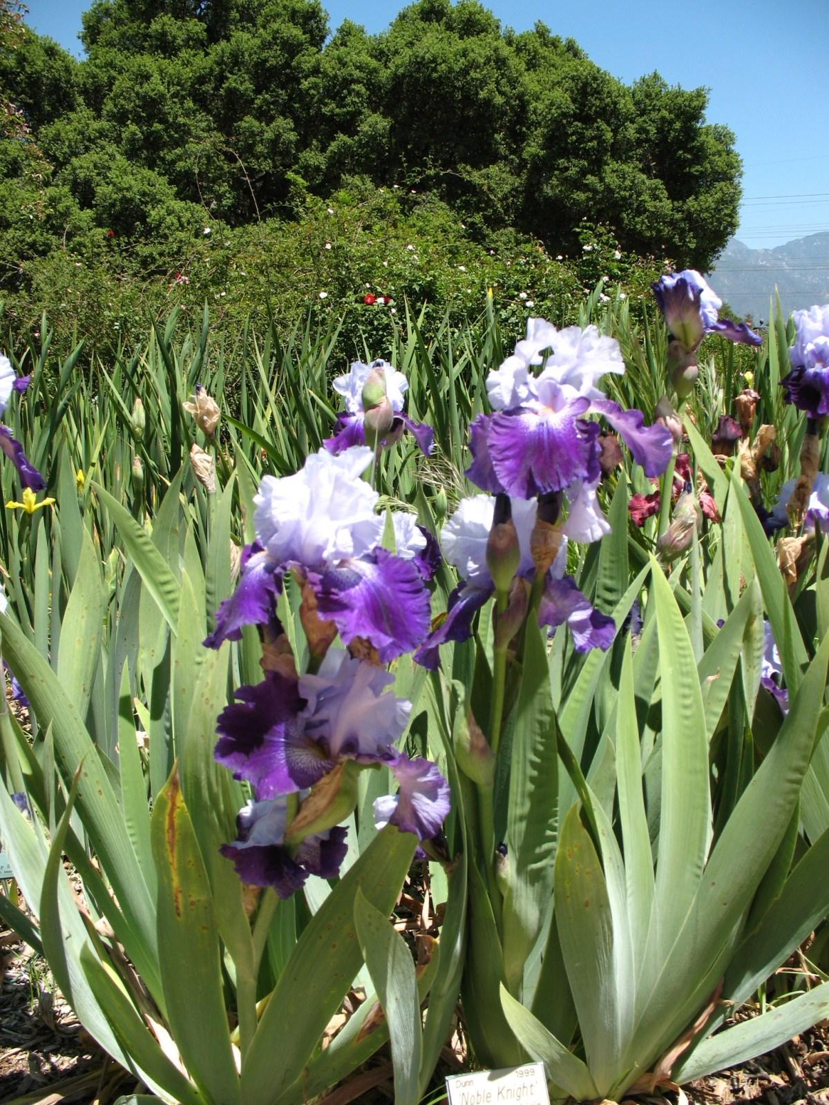 Surprise Sun Loving Iris Are Drought Tolerant But Daffodils Not
