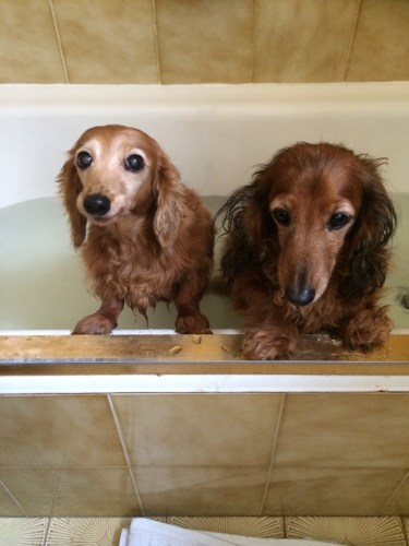 Worst day of the year - bath day