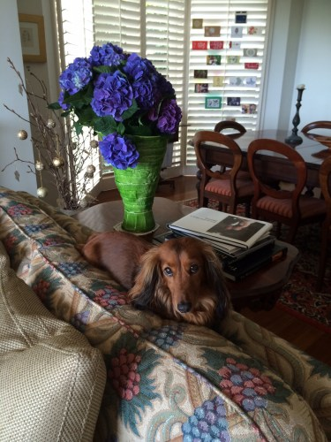 Beautiful hydrangeas and Elsie likes to sit on the top of the couch