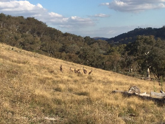 Spot the kangaroos at Red Hill in Canberra