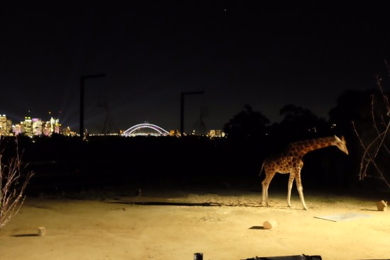 The giraffes have one of the best views in the zoo