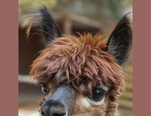 alpacas and google art & culture