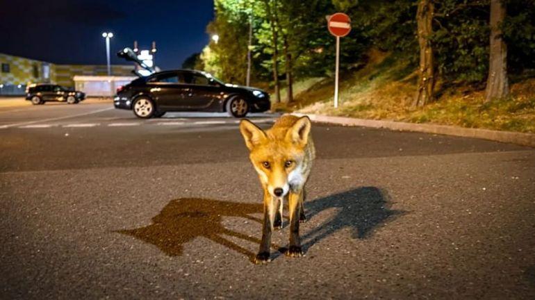 咬断刹车线,喝刹车油,一条街30辆车被咬坏,为何狐狸变疯狂?