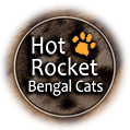 Hot Rocket Bengal Cats